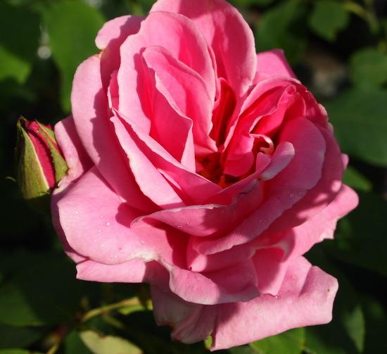rose mainzer fastnacht mainzer fastnacht hybrid tea buy. Black Bedroom Furniture Sets. Home Design Ideas