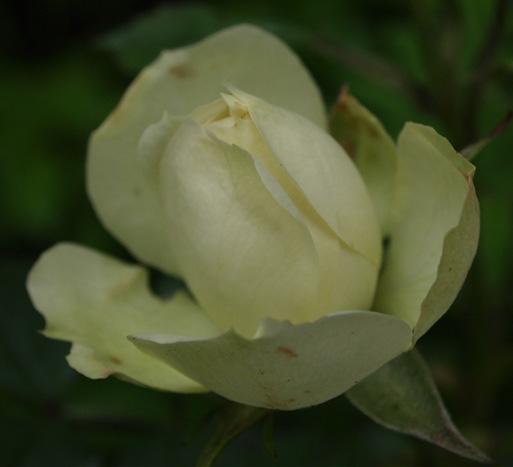 sechzehneichen rosensch tze the pernetianas rose garden. Black Bedroom Furniture Sets. Home Design Ideas